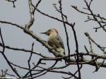 Peak Trail Female Red-Bellied Woodpecker