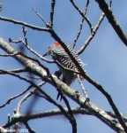 Peak Trail Female Red-Bellied Woodpecker
