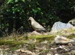 Hot Springs National Park Carriage Road Mourning Dove