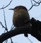 Hot Springs National Park Dead Chief Trail Carolina Wren
