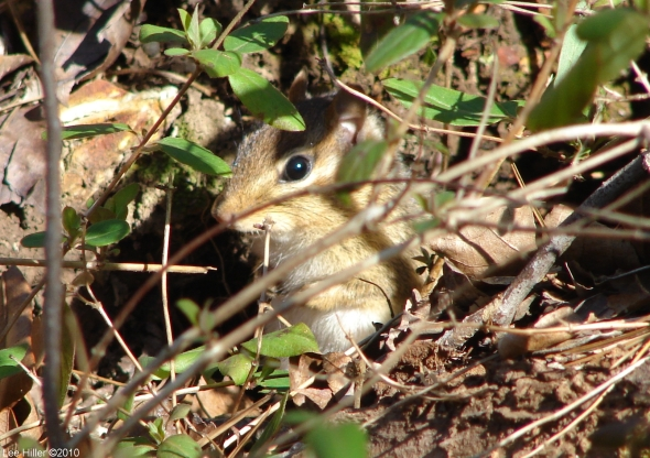Hot Springs National Park Short Cut Trail Blonde Chipmunk
