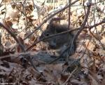 Hot Springs National Park, AR Upper Dogwood Squirrel