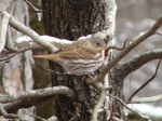 Hot Springs National Park HS Mt. Trail Fox Sparrow