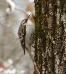 Hot Springs National Park Trails Brown Creeper