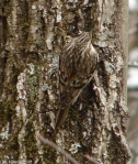 Hot Springs National Park HS Mt. Trail Brown Creeper