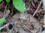Tony Caver North Mtn Copperhead