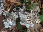 Hot Springs National Park Short Cut Trail Lichen Bark