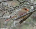 Hot Springs National Park, AR Tufa Terrace Female Cardinal