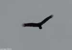 Hot Springs National Park, AR Turkey Vulture Fly Over