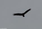 Hot Springs National Park, AR Turkey Vulture Fly Over