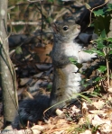 Hot Springs National Park, AR Dead Chief Trail Squirrrel