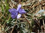 Goat Rock Trail Birds-Foot Violet Lavender