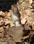 Hot Springs Mountain Trail Chipmunk Standing