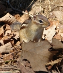 Hot Springs Mountain Trail Chipmunk