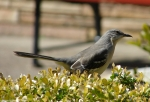 Hot Springs Mountain Rd Northern Mockingbird