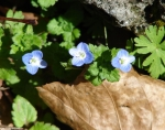 Hot Springs Mountain Road Bird's Eye Speedwell