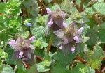 Hot Springs National Park Promenade Ground Ivy Pink