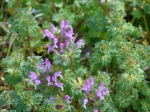 Hot Springs National Park Promenade Henbit or Deadnettle