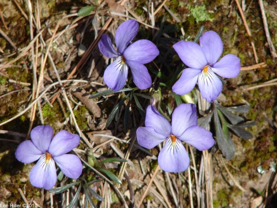 Upper Dogwood Trail Bird-Foot Violets