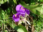Hot Springs Mountain Trail Spiderwort
