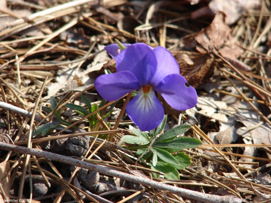 Hot Springs Mountain Trail Birds-Foot Violet