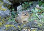 Hot Springs National Park Tufa Terrace Chipmunk