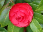 Hot Springs National Park, Arkansas Camellia Rosy Red