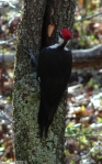 Hot Springs Mountain Road Pileated Woodpecker
