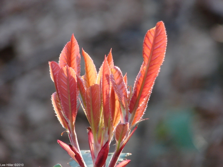 Upper Dogwood Red Leaf Petals