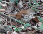 Carriage Road Brown Thrasher