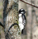 Floral Trail Female Hairy Woodpecker