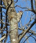 Hot Springs National Park Peak Trail Downy Woodpecker