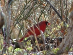 Hot Springs National Park Goat Rock Trail Male Cardinal