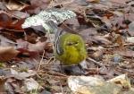 Honeysuckle Pine Warbler
