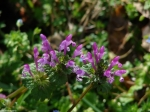 Hot Springs National Park,AR Promenade Henbit