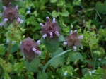 Hot Springs National Park Promenade Purple Dead Nettle