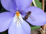 Hot Springs Mountain Trail Birds-Foot Violet and Hornet