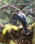 Hot Springs Mountain Trail Peregrine Falcon