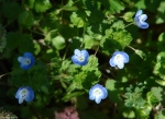 Promenade Birds-Eye Speedwell