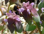 Hot Springs National Park Promenade Dead Nettle Bee