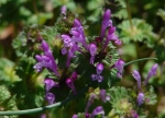 Hot Springs National Park Promenade Henbit