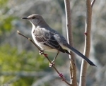 Hot Springs National Park Promenade Northern Mockingbird