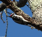 Short Cut Trail Hairy Woodpecker