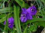 Hot Springs Mountain Trail Purple Spiderwort Patch