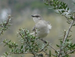 03282010PromenadeNorthernMockingbird