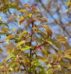 Hot Springs Central Ave Cherry Tree Leaves
