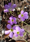 Hot Springs National Park Floral Trail Lavender Oxalis
