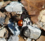 Floral Trail Red and  Black Ant? Wasp?