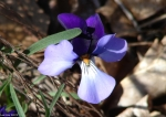 Goa tRock Trail Birds-Foot Violet Velvet Petals