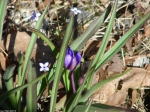 Goat Rock Trail Purple Spiderwort